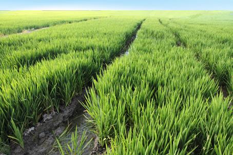 ¿Conoces SAI-Plattform? Ebro es miembro activo de esta plataforma de apoyo al cultivo sostenible.
