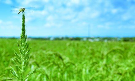 Promover la biodiversidad beneficia la producción sostenible de arroz
